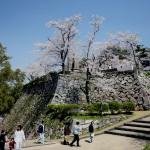 城山の石垣と桜