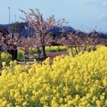 天下一ひむか桜と菜の花